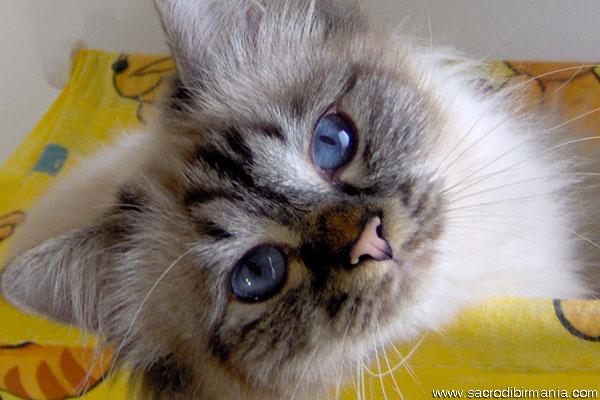 gatto sacro di birmania colore seal-tabby-point