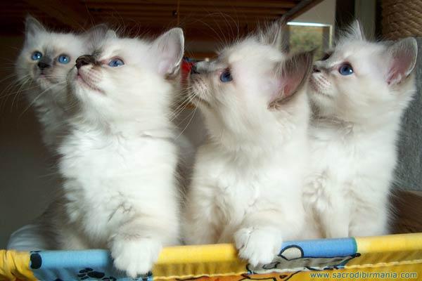 Foto dei cuccioli di Iside, colori seal e blu nella varietà self e