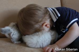 Cuccioli Sacro di Birmania, cuccioli in vendita, cuccioli