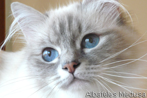 Medusa, blue-tabby-point