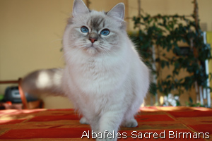 ohlala, blue-tabby-point