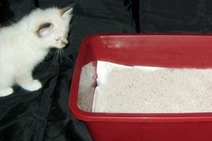 Gatto Sacro Di Birmania La Vaschetta Igienica Per I Bisogni Del Gatto